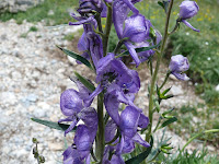 Aconitum napellum Photo