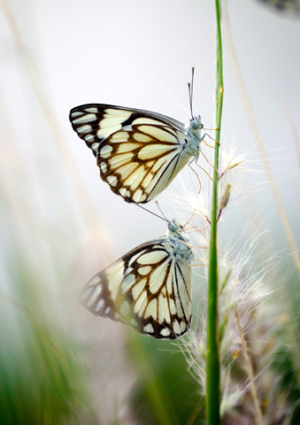 2 butterflies