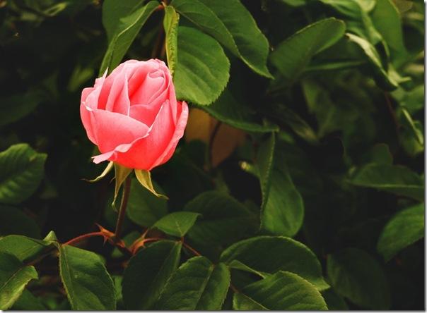 Rosa del Jardín del Principe.
