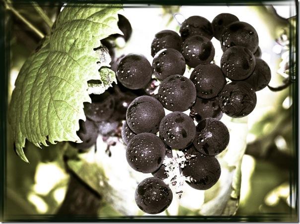 Uvas portuguesas
