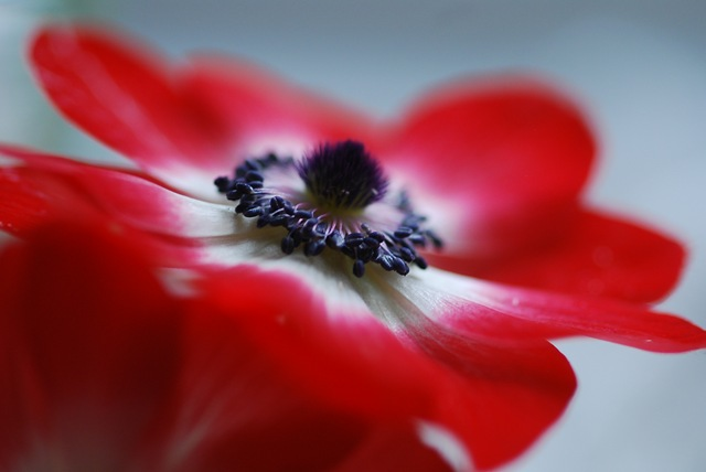 Red anemone profile