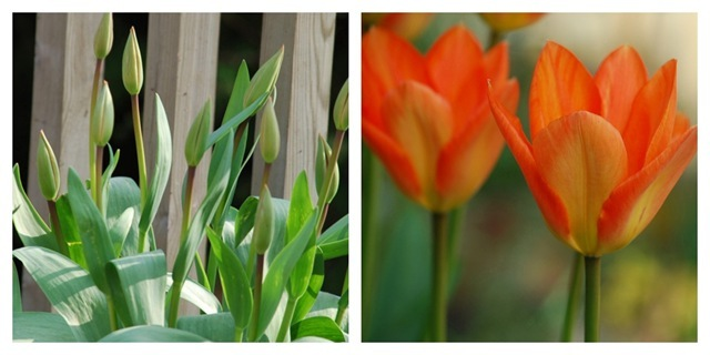 Orange tulip diptic
