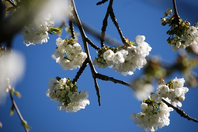 White blossom and blue sky