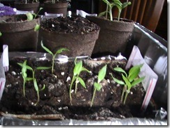 Bell Peppers April 11