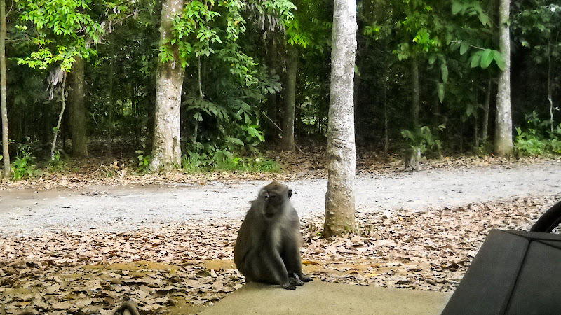 Curious monkey at Chek Jawa
