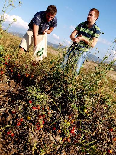 Pomidorowi szabrownicy