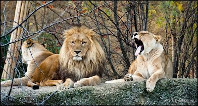 zoo bâle photo lions