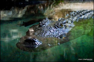 zoo bâle crocodile