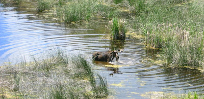 Photo of a bull moose in a pond