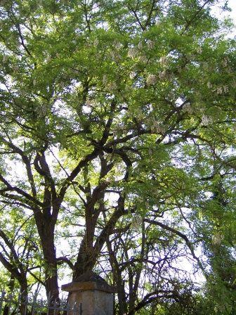 Planches Illustrées des Plantes Toxiques ou à risques. - Page 3 Med-Visoflora-robinier-faux-acacia-339