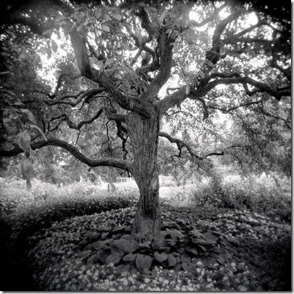 Crab Apple Tree, by Susan Lirakis
