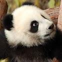 Panda Bear Puzzles icon