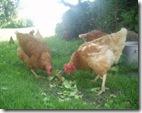 43380_chicken