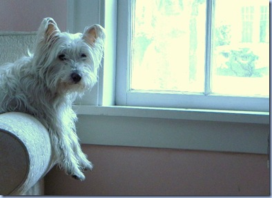 Adorable West Highland Terrier