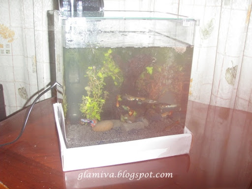 first aquarium tank with guppy fish on january 2011