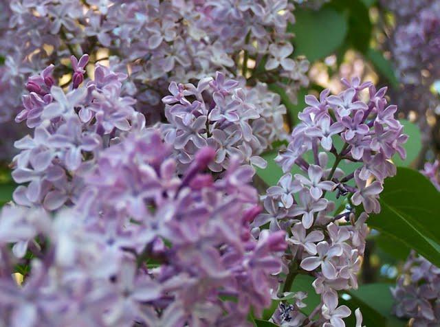 Floraison des lilas - Quand tailler les lilas ...