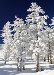 Snow-Clad-Trees-thumb