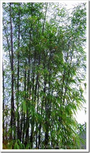 BambooDSC02263(1)