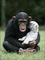 chimpance (7)