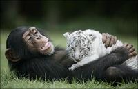 chimpance (2)