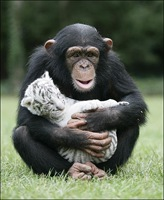 chimpance (3)