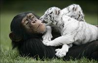 chimpance (8)