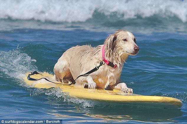 perros surf (3)