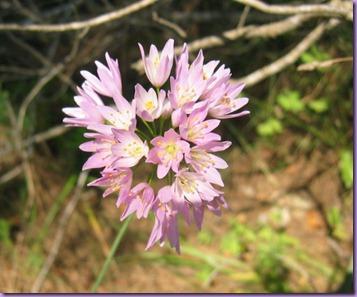 Ajo rosado   (Allium roseum) (Alliaceae)