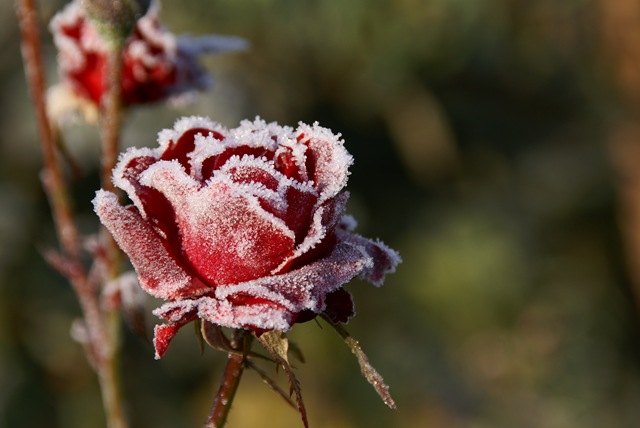 frozen_rose_by_swirus71