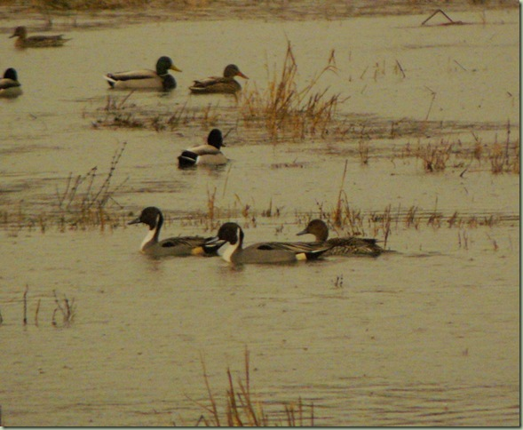 Pintails1