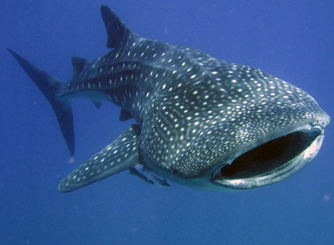 1295508746_maldives-whale-shark