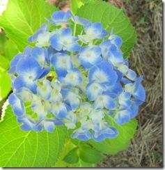bluehydrangea1