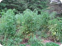 tomato garden 1