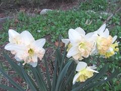 daffodils frilly1