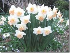 daffodils frilly 4