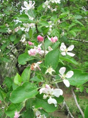 apple blossoms2011