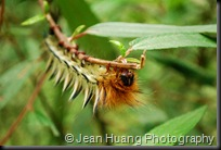 A Little Nature - Colorful Caterpillar in front of Qingyin Pavilion, Mount Emei, Sichuan (or, Szhechuan) Province, China