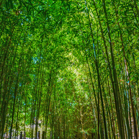 Huntington Gardens - Bamboo Forrest by Peter Murnieks - Landscapes Forests ( bamboo, pathway, wood, colorful, green, leaves, fence, forrest, japan, path, trees, walkway, walk, garden,  )