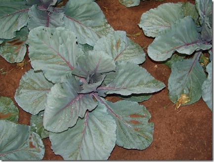 red dirt on red cabbage