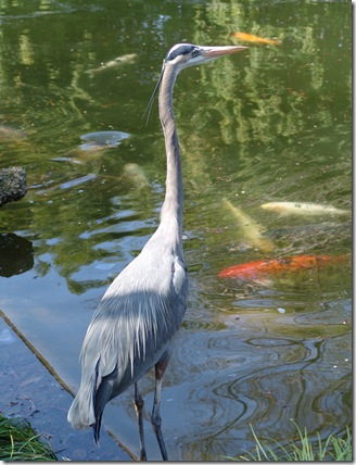 Blue heron and koi
