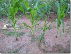 Corn report 8.9.09 002