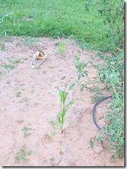 bad day corn