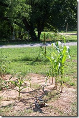 corn patch 1