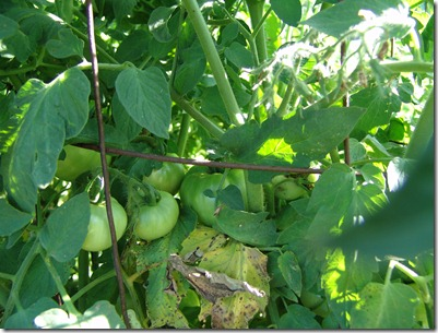 sweat, garden, squash and tomatoes 6-21 033