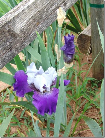 Fence line iris