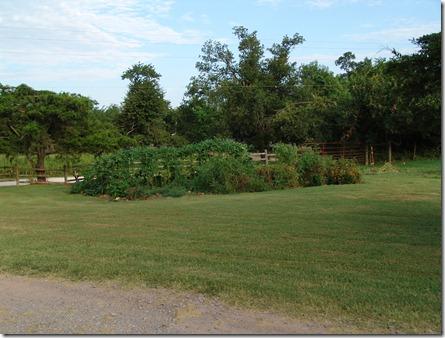 garden and guineas 001