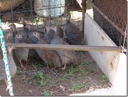 garden and guineas 020