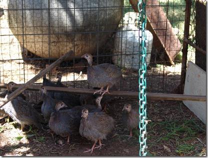 garden and guineas 021