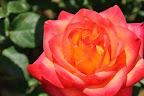 与野公園のバラ記事へ