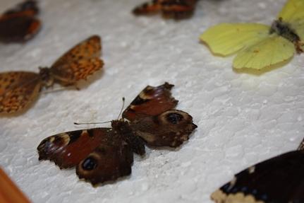 sommerfugl1aa